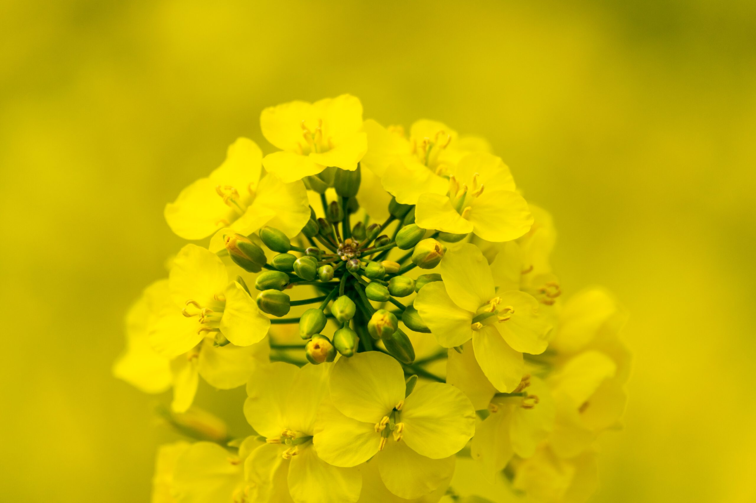 Is Canola a Danger to Health?